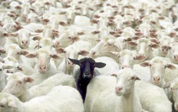 black-sheep_1719970i