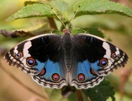 blue-pansy-l