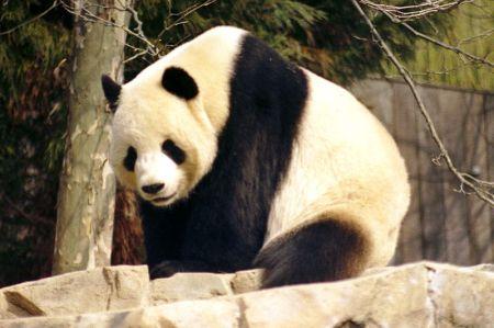 800px-Giant_Panda_2004-03-2